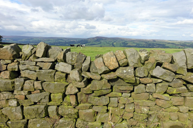 dry-stone-wall-cow